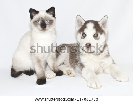 Sweet blue eyed puppy and kitten on a white back ground.