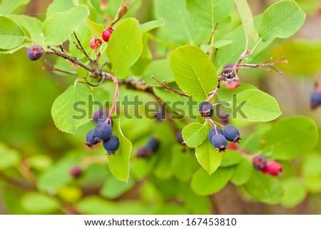 Sweet blue Saskatoon Berries, Amelanchier alnifolia, ripen on bush in the wild - stock photo
