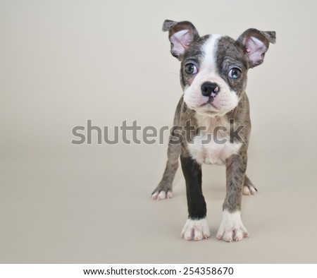 Sweet Boston puppy standing and looking very alert, with copy space - stock photo