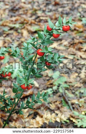sweet broom,butcher's-broom, leaves and berries - stock photo