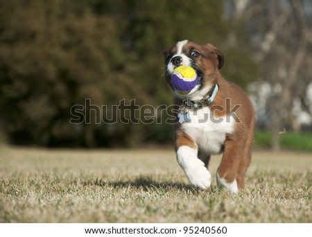 Sweet brown and white puppy running with a ball - stock photo