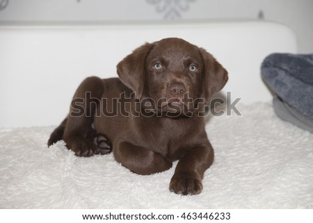 sweet brown labrador puppy lying on a sofa in a living room