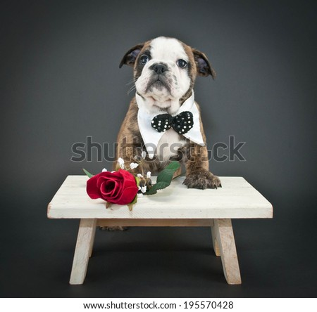 Sweet Bulldog puppy wearing a bow tie with a single red rose on a black background.