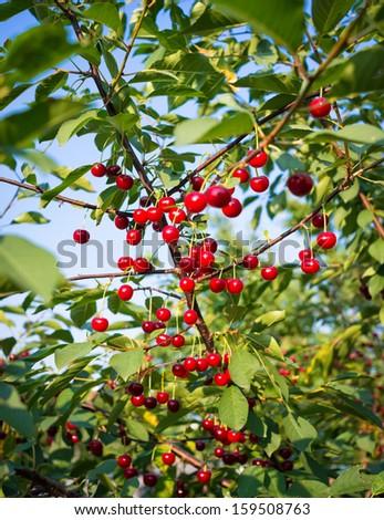 Sweet cherry tree stock photos royalty free images vectors shutterstock - Romanian cherry tree varieties ...