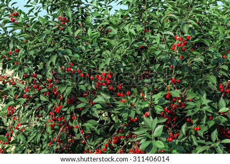 Sweet cherries on orchard trees - stock photo