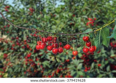 Sweet cherries on orchard trees - stock photo