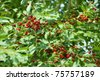 sweet cherry on a tree in the garden - stock photo