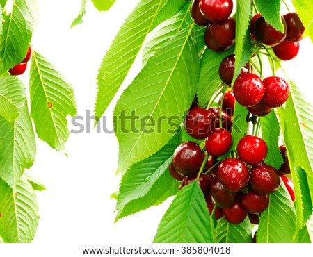 Sweet cherry red berries on a tree branch close up. - stock photo