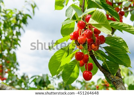 Sweet cherry red berries on a tree branch close up. Selective focus - stock photo