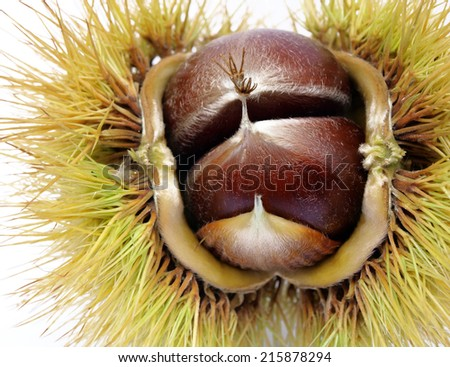 sweet chestnut edible nut