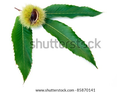 sweet chestnut fruit split open with leaves on white background - stock photo