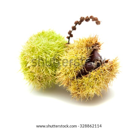 sweet chestnut still in shell isolated on white background