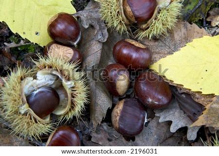 Sweet chestnuts ( Castanea sativa ) on forest floor - stock photo