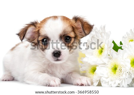 sweet Chihuahua puppy with chrysanthemums  flowers close-up isolated on white background