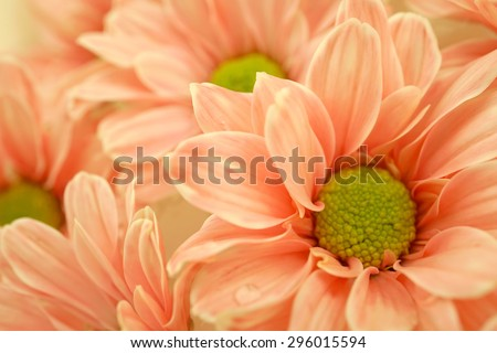 sweet color Chrysanthemums in soft and blur style for background