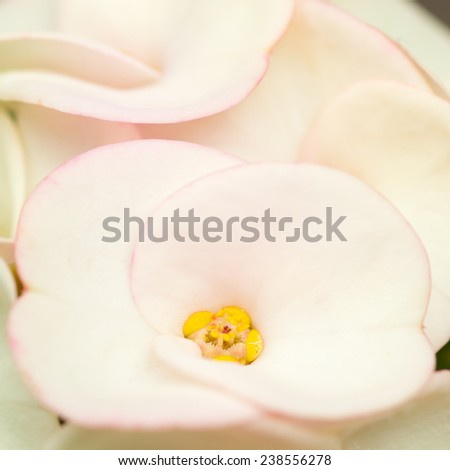 Sweet color Euphorbia milii in soft style for background. - stock photo