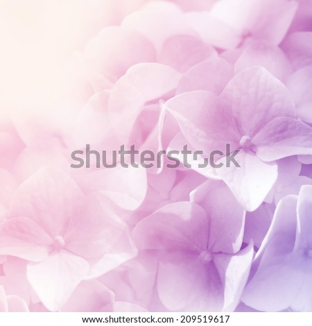 sweet color hydrangea in blur style for background