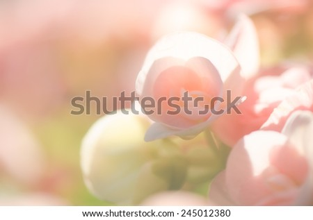 Sweet color of Begonia flowers for soft background - stock photo