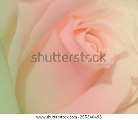 Sweet color, peach rose, close up for background. - stock photo