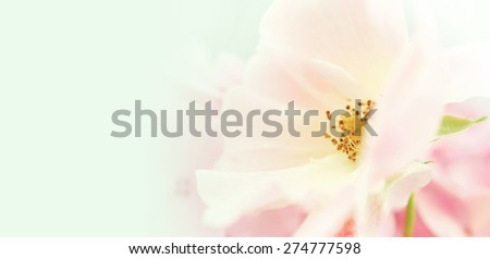 sweet color petal rose for romantic background - stock photo