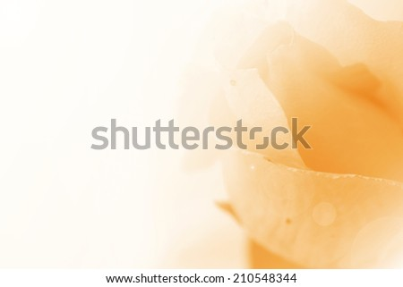 Sweet color rose in soft color style for background. Sweet rose petals with space for text or image may use for wedding background. - stock photo
