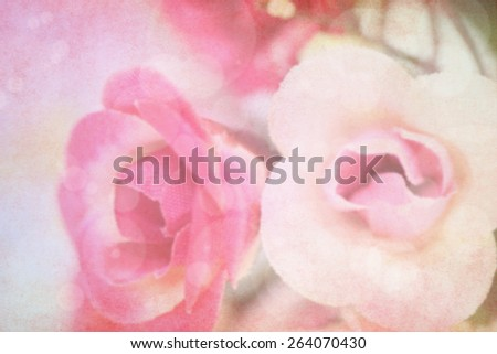 sweet color roses blooming in soft and blur style for background - stock photo