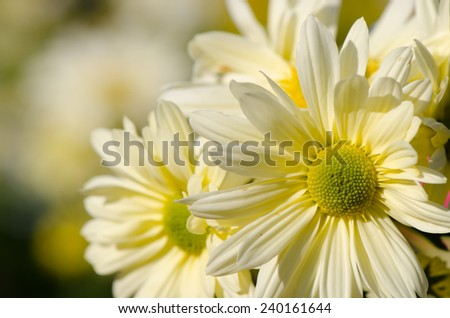 Sweet color soft background of yellow daisy  flower. - stock photo