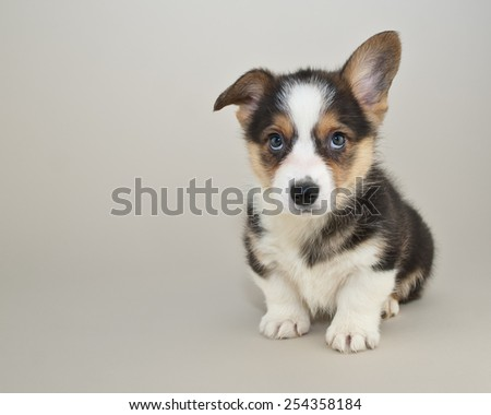 Sweet Corgi puppy sitting looking up with cute puppy eyes, with copy space. - stock photo