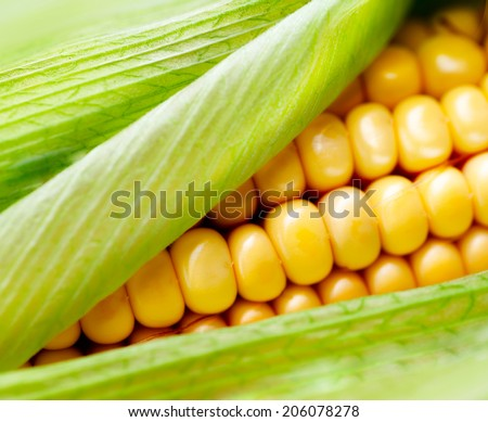 Sweet Corn closeup. Fresh organic corn cob close-up - stock photo