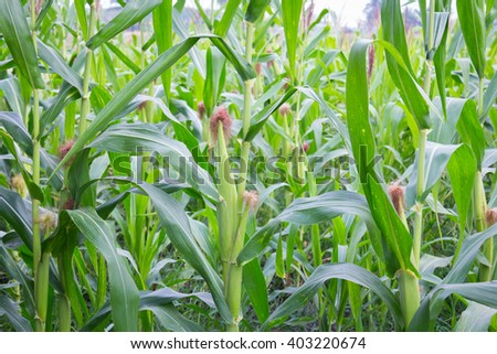 Sweet corn in the garden