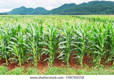 Sweet corn plantation in central of Thailand  - stock photo