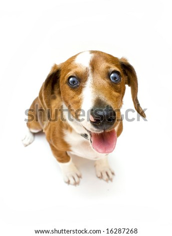 Sweet Dachshund ( teckel ) dog sitting on a white background