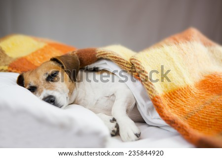 Sweet dog comfortably sleeping under a warm blanket. Gray background. Place for your text - stock photo