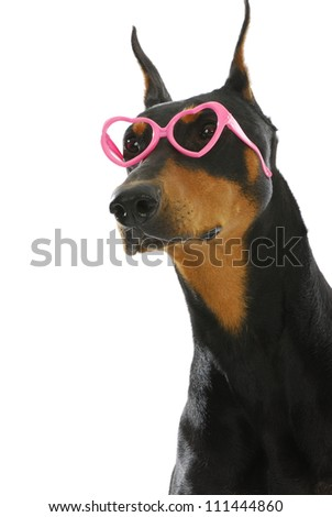 sweet dog - doberman pinscher wearing heart shaped glasses on white background - stock photo