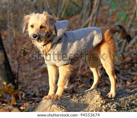 Sweet dog dressed in a hooded sweater top - stock photo