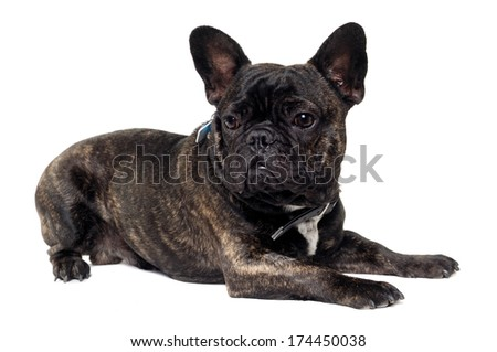 Sweet dog is resting on a clean white background. The name of the breed is a French Bulldog.
