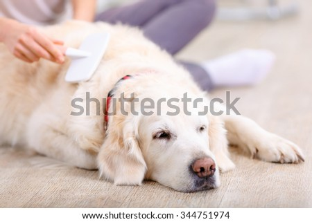 Sweet dreams. Close up of nice dog lying on the floor and sleeping with young woman brushing it - stock photo
