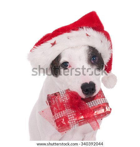 Sweet English Stafford Bull Terrier with Santa hat holding a wrapped Christmas present and looking at camera. Isolated on white.