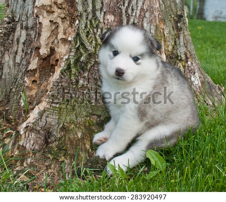 Sweet five week old Huskimo puppy sitting in the grass outdoors beside the base of a tree.
