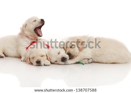 Sweet four sleeping on each other puppies of golden retriever - stock photo