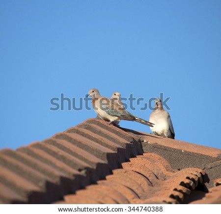 Sweet gentle shy  little Senegal Doves Streptopelia senegalensis , Palm Dove, Laughing Dove or  Egyptian Turtle Dove are   perched  on a clay tile roof on a sunny  autumn  morning.