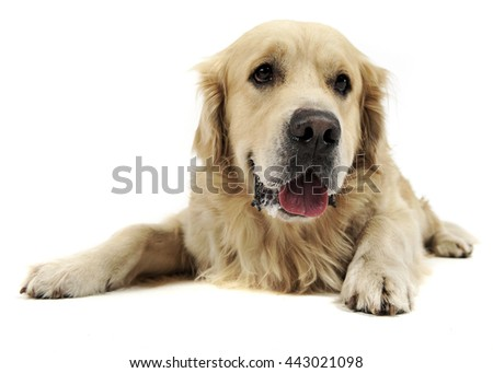 Sweet Golden Retriever in a white studio background