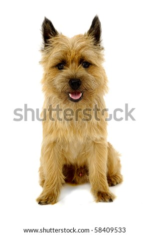 Sweet happy dog is sitting on a white background. The breed of the dog is a Cairn Terrier. - stock photo