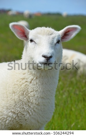 Sweet lamb - stock photo