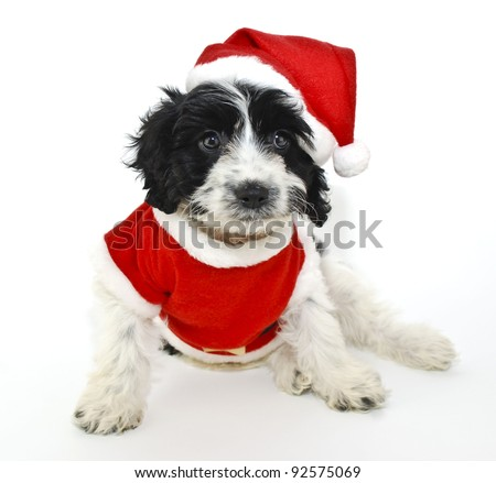 Sweet little black and white Christmas puppy wearing a Santa outfit on a white background.