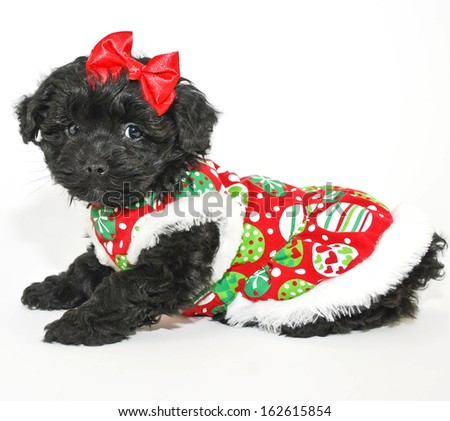 Sweet little black puppy all dressed up for Christmas, on a white background.