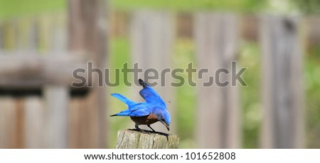 Sweet little Bluebird on sunny day - stock photo