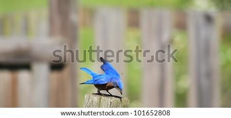 Sweet little Bluebird on sunny day - stock photo