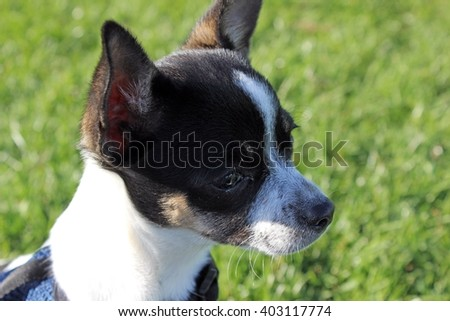 sweet little chihuahua dog in the park on a sunny day