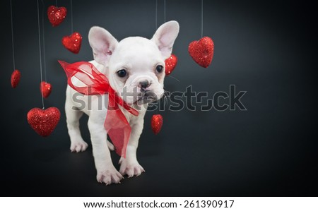 Sweet little French Bulldog puppy with hearts hanging from strings around him on a black background with copy space.